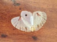 Psychopsis mimica Moth Lacewing