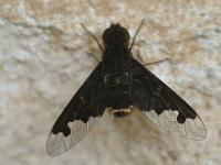 Bee fly of Genus Antrhax