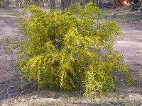 Acacia verniciflua   Varnish Wattle