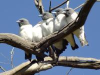 White-breatsed Woodswallows