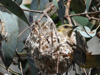 Fuscous Honeyeater om nest