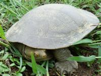Turtle Emydura macquarii