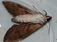 Psilogramma casurarinae underside