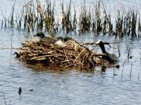 Eurasian Coot   Fulica atra  Nest and young