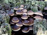 Mycena yuulongicola