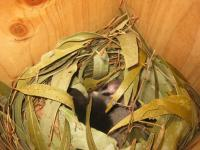 Glider nest in nest box