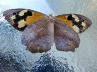 Common Brown Heteronympha merope ventral