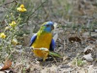 Turquoise Parrot  Neophema pulchella