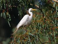 Intermediate Egret  Ardea intermedia