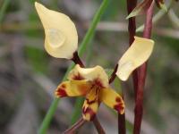 Diuris pardina  Leopard Orchid