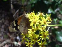 Common Brown  Heteronympha merope
