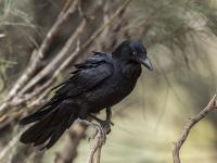 Australian Raven Corvus coronoides