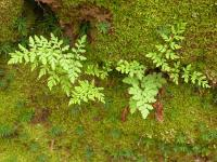 Cheilanthes austrotenuifolia  Green Rock Fern