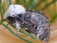 Genduara acedesta  Crexa moth