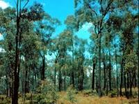 Regent Honeyeater habitat Chiltern 1989