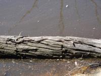 Brown Snake  Pseudonanja textilis