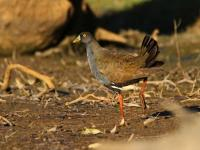 Black-tailed Native-hen Gallinula ventralis