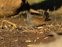 Black-tailed Native-hen Gallinula ventralis