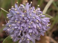 Brunonia australis Blue Pincushion