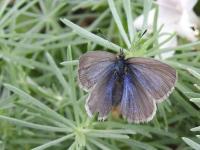 Zizina otis labradus  Common Grass-blue