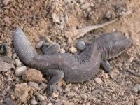 Wood Gecko  Diplodactylus vittatus