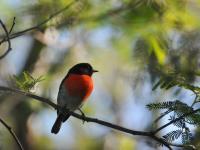 Scarlet Robin  Petroica boondang
