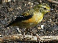 Spotted Pardalote  Pardalotus punctata