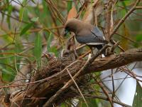 Dusky Woodswallow Artamus cyanopterus