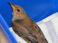 Scarlet Honeyeater juvenile