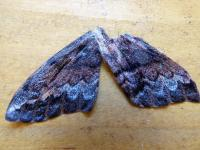 Chelepteryx collesi Batwing Moth Wings 3