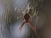 Orb Weaver sp