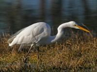 Great Egret Ardea modesta