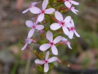 Stylidium graminifolium Grass Trigger-plant