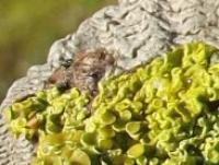 A sunburst lichen Xanthoria parietina