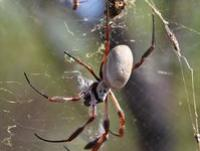 Golden Orb-weaving  Spider Nephila edulis