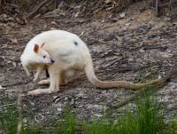 Wallabia bicolor  Albino-Wallaby-3