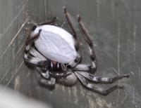 Huntsman with egg sac