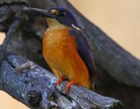 Azure Kingfisher  Alcedo  azurea