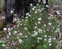 Leucopogon virgatus Beard-heath