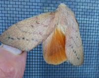 Entometa fervens Common Gum Snout Moth