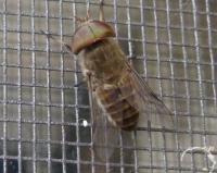 Horse Fly Tabanidae sp