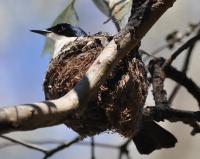 Restless Flycatcher on nest.