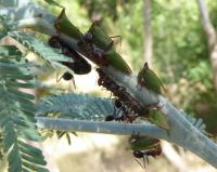 Ants with Horned tree-hoppers