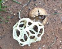 Ileodictyon cibarium Lattice Fungus
