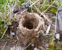 Camponotus molossus