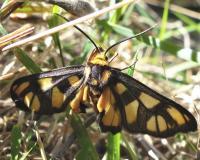 Amata sp. (Erebidae, Arctiinae), Mt Pilot N Blair