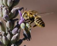 Leaf-cutter bee Megachilid