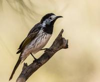 White-fronted Honeyeater Phylidonyris albifrons