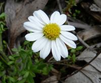 Brachyscome gracilis Dookie Daisy