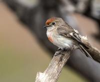 Female Red-capped Robin Petroica goodenovii